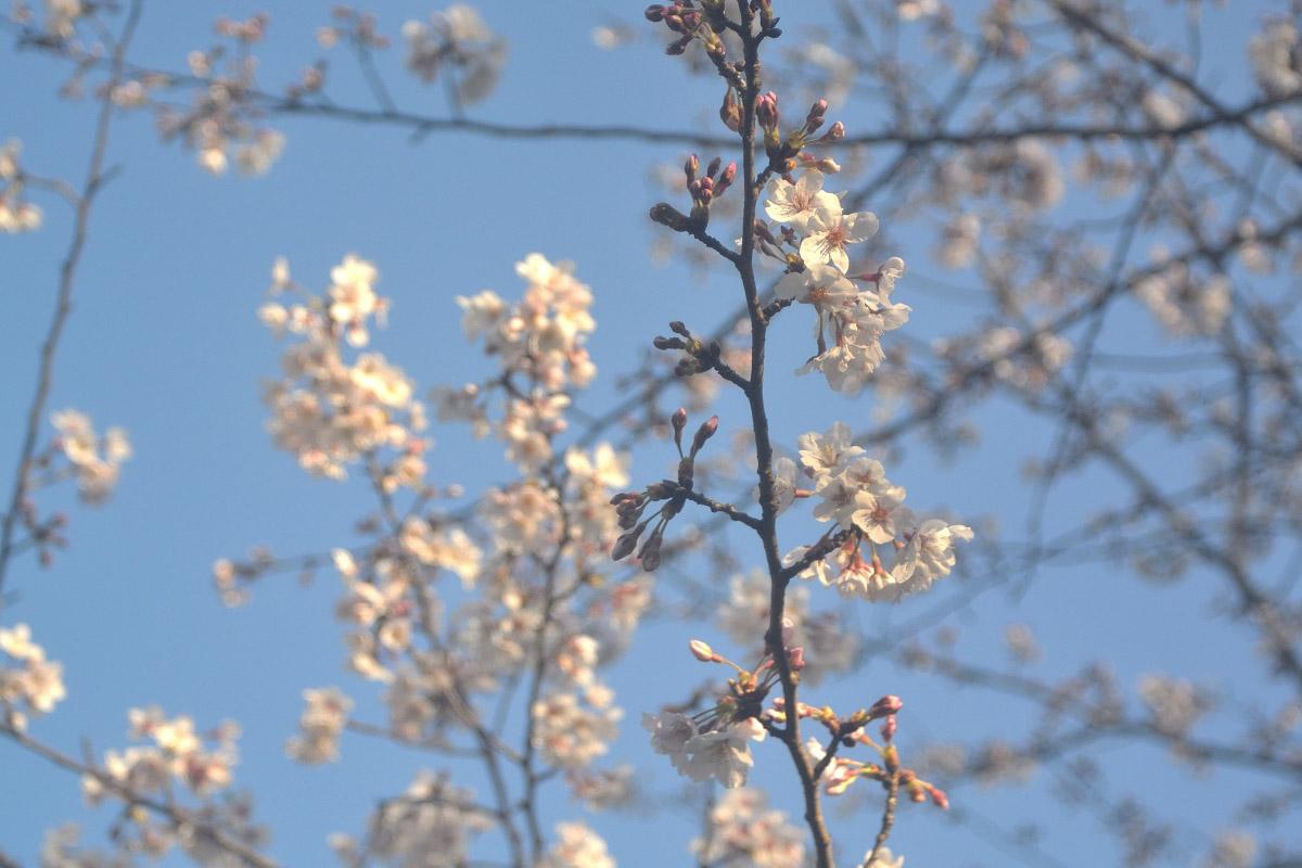 桜 ワイドE
